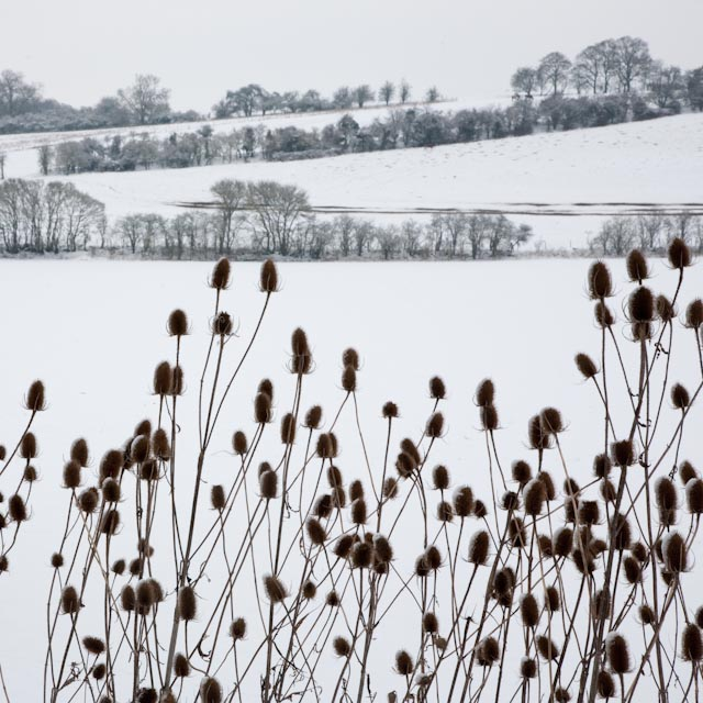 A photography of a field coverted in snow with long plants in the foreground.